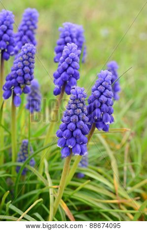 Grape Hyacinth (viper Bow) Flowers