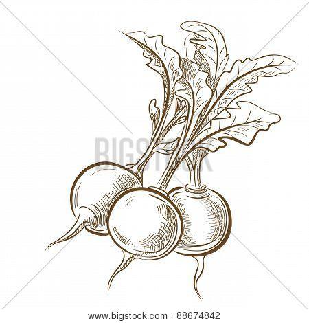 picture of radish