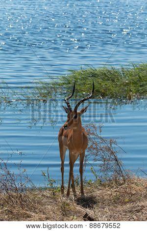 Impala Standing On Chobe Riverfront Botswana Africa
