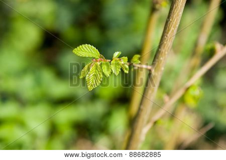 Young Tree Leaves