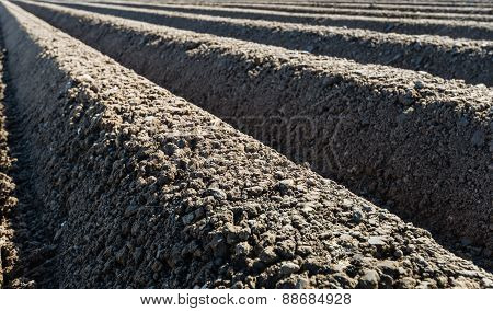 Converging Potato Ridges Of Crumbled Clay In Early Sunlight