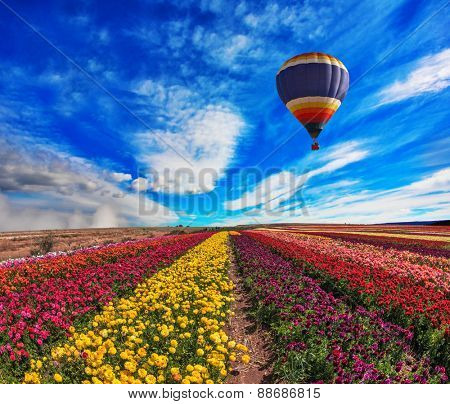 Large field of colorful buttercups. Spring windy day on the farm. In the sky flying scenic balloons