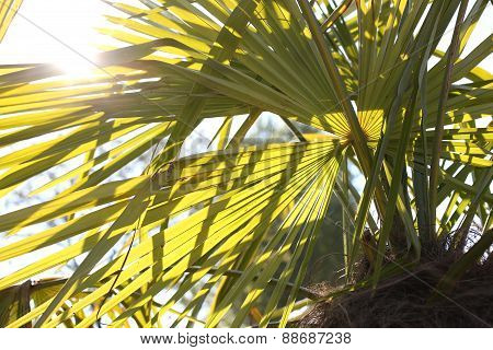 Palm With Long Leaves And The Sun High
