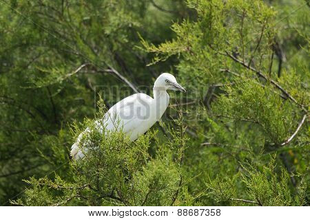 The Little Egret Brird