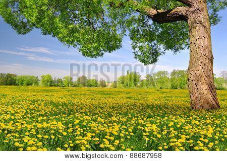 Tree on dandelion field. Spring landscape.