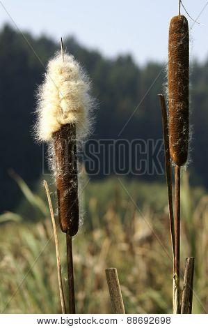 Bulrush cattail - Typha