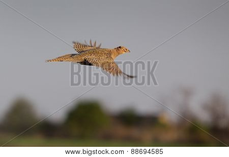 Pheasant Hen Flying