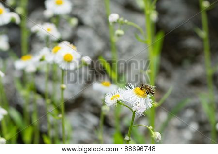 Bee On White Daisy