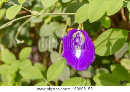 Closeup Of Pea Flower In Garden
