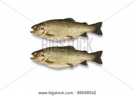 Purified trout on white background