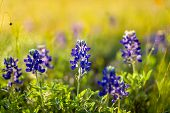 picture of bluebonnets  - Texas bluebonnets on a sunny spring afternoon  - JPG
