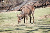 picture of bucks  - Female water buck is grazing during mid - JPG