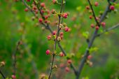 stock photo of small-flower  - branch with little pink flowers twig shrub with small pink flowers flowers in the garden at springtime