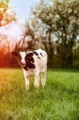 foto of calves  - Young dairy calf grazing in lush spring meadow with sun flare effect  - JPG