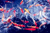 stock photo of koi fish  - Red gold and white koi fish in a pond - JPG