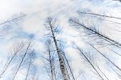 stock photo of canopy  - Low angle view of canopy of bare birch trees on blue sky - JPG