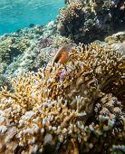 stock photo of hawkfish  - Hawkfish laying on coral - JPG