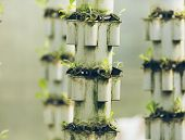 pic of hydroponics  - Plants are cultivated in hydroponic system - JPG
