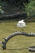 stock photo of water bird  - The Little Egret  - JPG