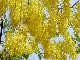 picture of cassia  - Cassia Flower in summer Close up Cassia flower - JPG