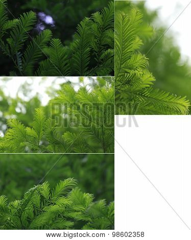 Original Size Of The Collected Water Cedar Leaves Of Macro