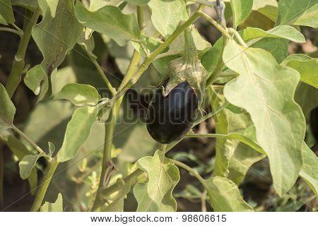 Eggplant Growing, Aubergine