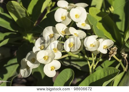 Euphorbia White Flowers