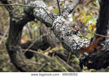 Tree Overgrown With Lichen