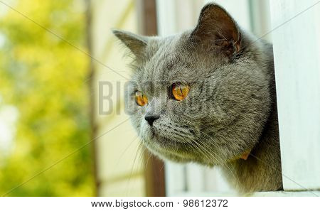 British short hair cat peering out of the window