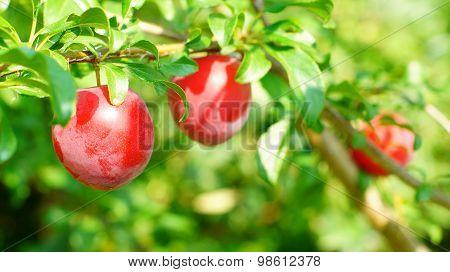 Ripe cherry-plums on the plum-tree