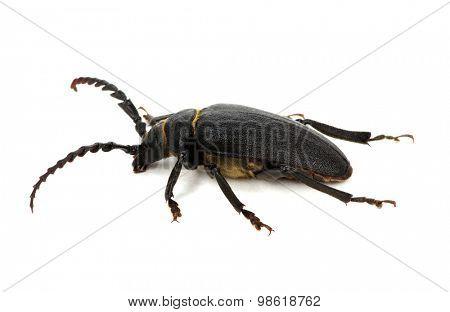 black beetle isolated on white