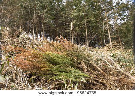 Japanese cedar seedlings