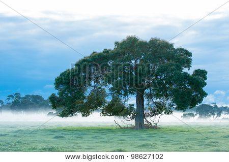 Redgum In The Mist