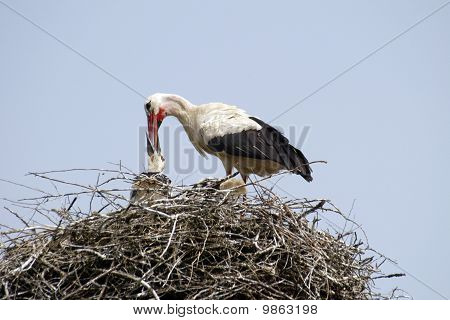 Stork family in the nest
