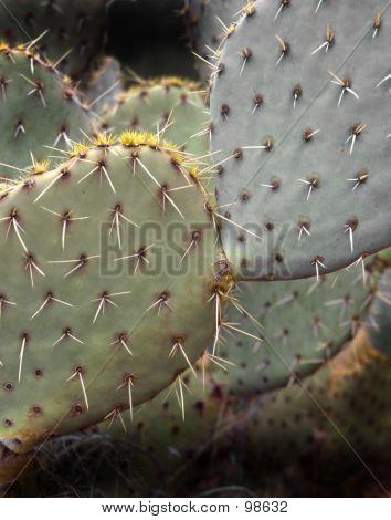 Beavertail Cactus