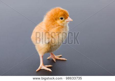 Newborn Brown Chicken On Gray