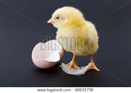 Yellow Newborn Chicken With Feather And Egg Shells