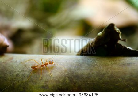 Ant tiny world (Macro, selective focus environment on leaf background)