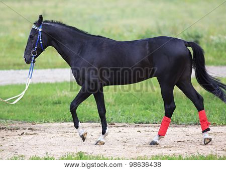 Young stallion Akhal Teke breed sheep suit.
