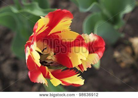 Beautiful Dutch colorful tulip