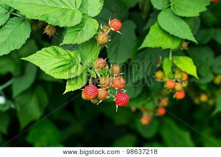 Bunches Of Black Raspberry (rubus Occidentalis) Ripening On The Branches