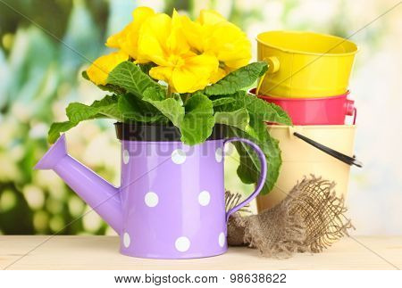 Beautiful yellow primula in watering can on wooden table on green background