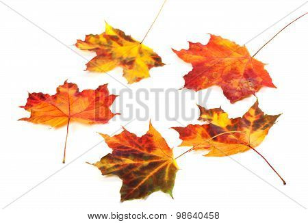 Multicolor Autumn Maple-leafs On White Background