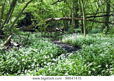 Carpet of wild garlic white flowers in forest ecology