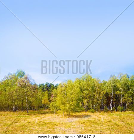 Birch forest in tundra. Picture with space for your text. Natural background.