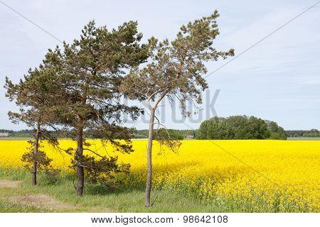 Rape Field And Trees