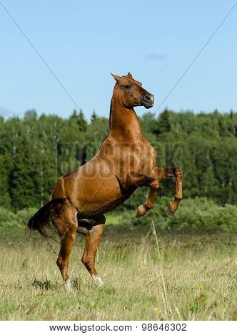 Stallion Rearing On Freedom