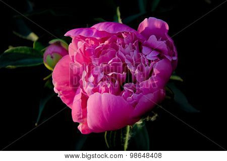 Pink Peony Flower Bud