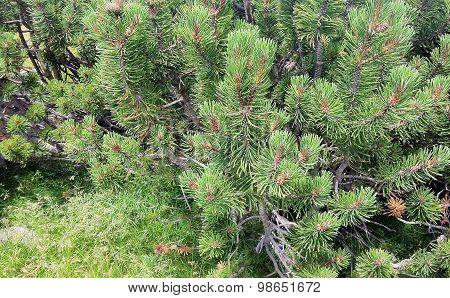 Pine tree fragment