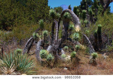Mojave Joshua Tree